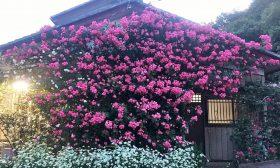 薔薇園の写真